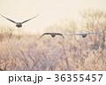 樹氷を背景に群れで飛ぶハクチョウ(北海道) 36355457
