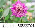 背景 花 ヒナギクの写真 36355704