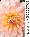 背景 花 フローラルの写真 36355706