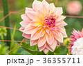 背景 花 フローラルの写真 36355711