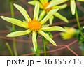 背景 花 お花の写真 36355715