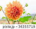 背景 花 お花の写真 36355719