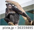 木の上のチンパンジー 36359895