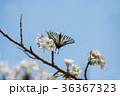 桜 さくら サクラの写真 36367323