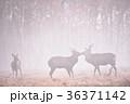霧の奏で出会ったエゾシカの群れ(北海道) 36371142