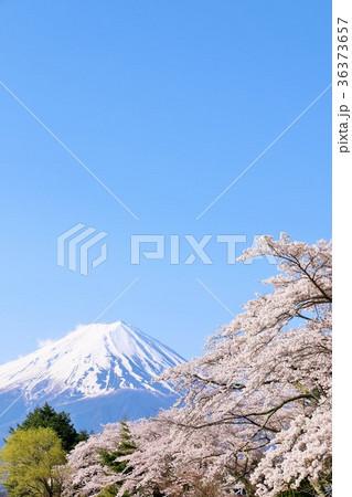 富士山と桜 36373657