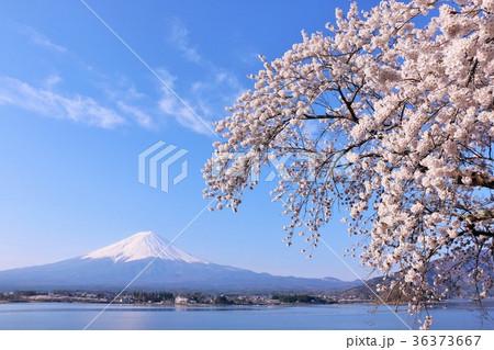 青空の富士山と春の桜 36373667