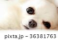 くつろぐチワワ 36381763