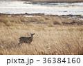 野付半島のエゾシカ(北海道) 36384160