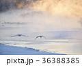 タンチョウ 鶴 霧の写真 36388385