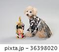 犬 門松 晴れ着の写真 36398020