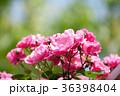 花 バラ バラ科バラ属の写真 36398404