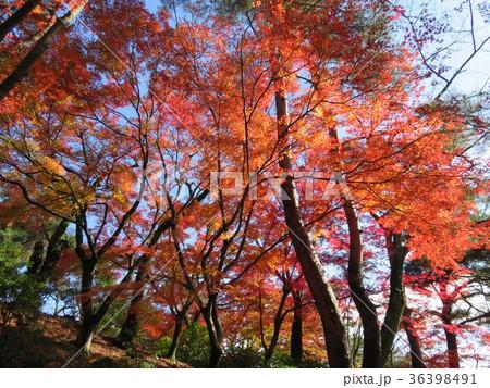 福井県 西山公園 紅葉 36398491