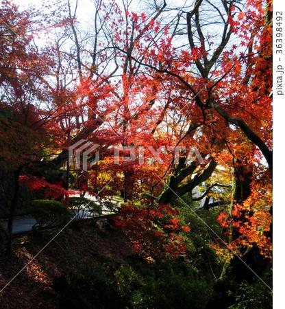 福井県 西山公園 紅葉 36398492
