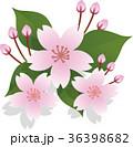 サクラの花 36398682