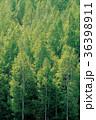 木 緑 緑色の写真 36398911