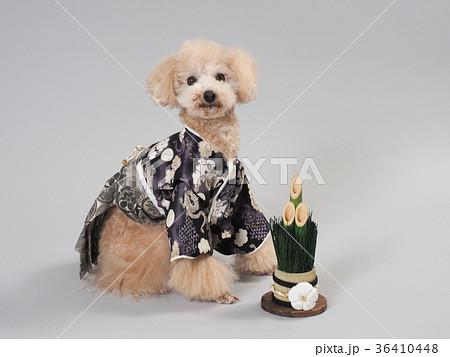 門松と晴れ着を着たトイプードル 36410448