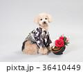 犬 門松 晴れ着の写真 36410449