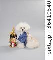 犬 晴れ着 トイプードルの写真 36410540