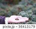 木のみを拾う女性の手 36413179