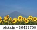 ひまわり 富士山 夏の写真 36422700