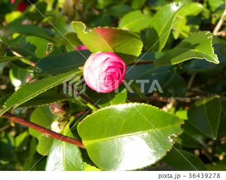 このピンクの蕾は山茶花の蕾 36439278