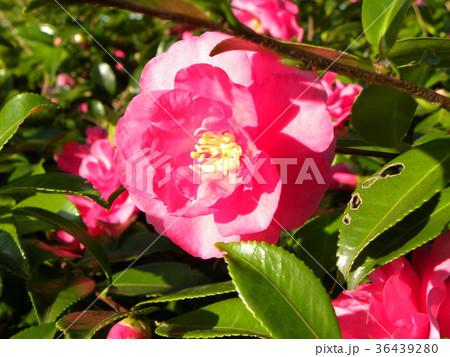 このピンクの花は山茶花の花 36439280