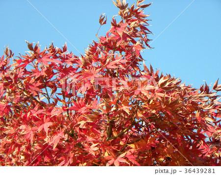 真っ赤な葉っぱになったモミジの紅葉 36439281