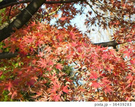 真っ赤な葉っぱになったモミジの紅葉 36439283