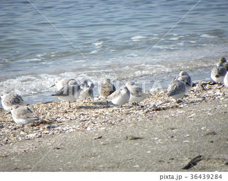 検見川浜で朝の給餌中のミユビシギ 36439284