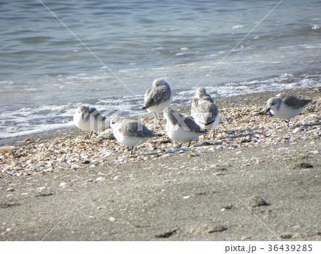 検見川浜で朝の給餌中のミユビシギ 36439285
