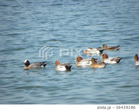 検見川浜の岸壁近くをゆうゆう泳ぐヒドリガモの一団 36439286