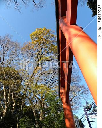 検見川浅間神社の赤い鳥居とケヤキの黄葉 36439288