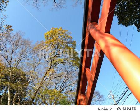 検見川浅間神社の赤い鳥居とケヤキの黄葉 36439289