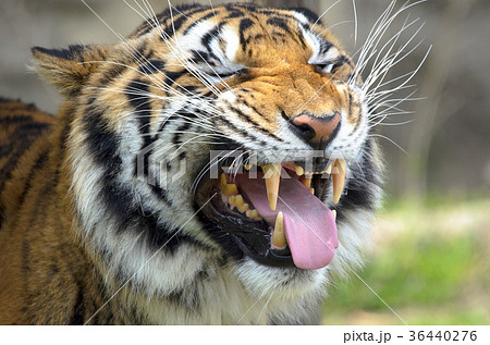 フレーメン反応の虎 36440276
