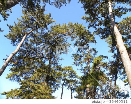 昔の稲毛海岸の松林の黒松 36440511