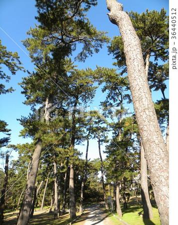 昔の稲毛海岸の松林の黒松 36440512