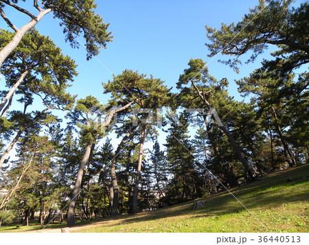 昔の稲毛海岸の松林の黒松 36440513