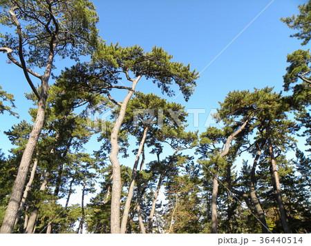 昔の稲毛海岸の松林の黒松 36440514
