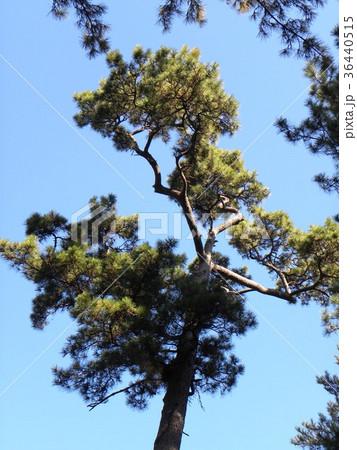 昔の稲毛海岸の松林の黒松 36440515
