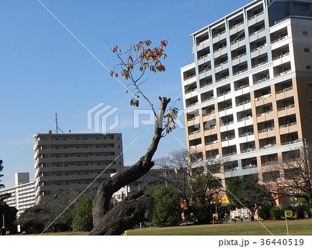 都会の公園の剪定されたサクラの大木の紅葉 36440519