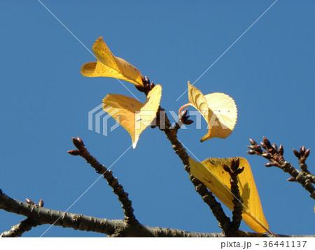 稲毛海岸駅前のカワヅザクラの黄葉と冬芽 36441137