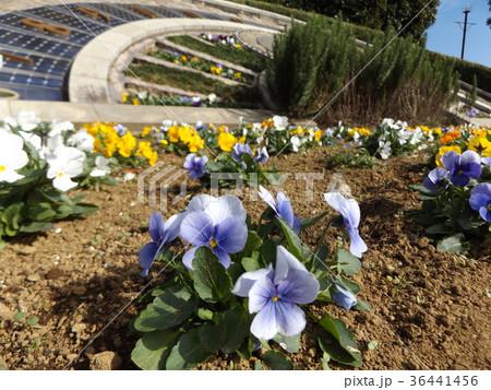 日時計前の咲き始めたパンジーの青色と黄色い花 36441456