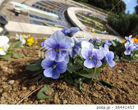日時計前の咲き始めたパンジーの青色の花 36441457