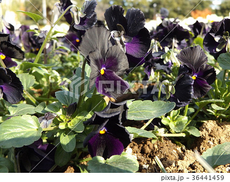 咲き始めたビオラの黒紫色の花 36441459
