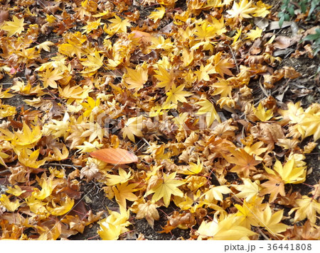 モミジの赤くなった葉っぱの落葉 36441808