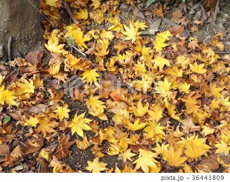 モミジの赤くなった葉っぱの落葉 36441809