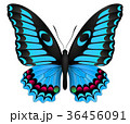 チョウ 蝴蝶 蝶のイラスト 36456091
