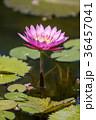 睡蓮 すいれん 池の写真 36457041