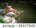 フラミンゴ 鳥 群れの写真 36457049
